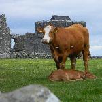 Cows amid the ruins of an abby