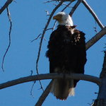 Bald Eagle from the river