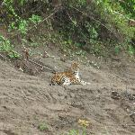 Jaguar sighting near Tambopata Research Center