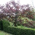 Abercelyn garden - maple tree and arch