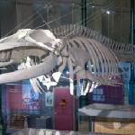 Esqueleto de ballena rorcual