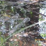 first baby gator we spotted