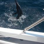 90lb Marlin
