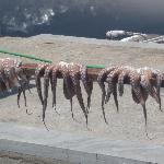 Calamars qui sèchent sur le Port