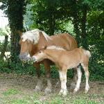 One of the Cannelle family's 40 Comtois horse with foal.
