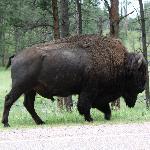 awesome buffalo