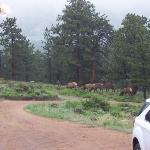 Elk grazing, as seen from the living room window in the cottage