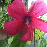 Giant Hibiscus NC State Farmers Market