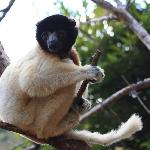 a sifaka, cant tell you species..