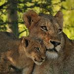 Lioness - Keith Jenkinson