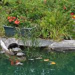A koi and turtle pond by the main house