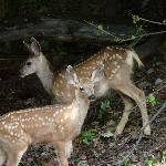 2 deer families with twins visited every day!