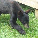 A black bear during picnick