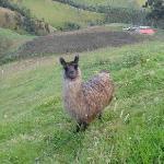 the lovely llama