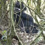 Mwirima the silverback gorilla