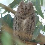 Lesvos Scops Owl