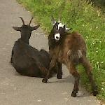 Goats on the footpath