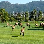 Elk on the adjacent golf course.