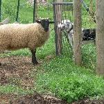 Lucky and a sheep