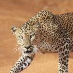Yala National Park female leopard