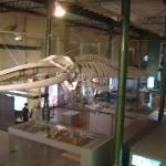lo scheletro del capodoglio