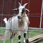 A goat @ Whispering Orchards