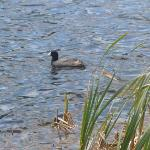 The Nature Preserve (Coots)