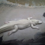 Albino alligator kept indoors