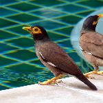 These myna birds drink from the pool each morning