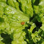 Lady Bug on a Salad!