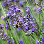 honey with lavender flavor