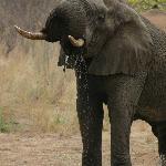 Elephant drinking in Kruger National Park