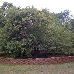 The most famous apple tree in the world?