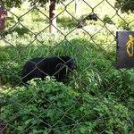 bears in Mae hong son zoo