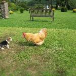 dog v. rooster