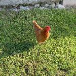 Robert the Chicken - (My kids named him Robert so you can call this chicken what you will)
