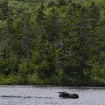 Moose in Sandy Stream Pond, Baxter State Park