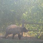 Bear heading for the trash can. Can barely see thru the dirty windows.