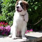 Bachelor, dog in residence at Ritz-Carlton Bachelor Gulch