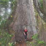 ärboles milenarios de  mas de  40 mts de altura en medio de la espesa selva peruana, esta especi