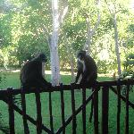 Monkeys on balcony