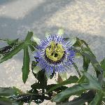 Purple passion flower, grown in Friendsville