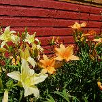 Lovely day lillies along the side of the restaurant