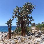 Cactus Opuntia en Isla Sta. Fé, Galápagos.