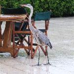 Garza en piscina del Finch Bay Eco Hotel, Isla Sta. Cruz, Galápagos.