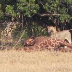 Lion's breakfast in Tsavo East