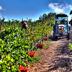 hand harvest at Saslove- Tsivon organic vineyard