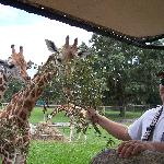 My son, David feeding a giraffe!