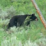 Black Bear just a couple of miles from cabin