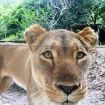 A happy guest, a lioness